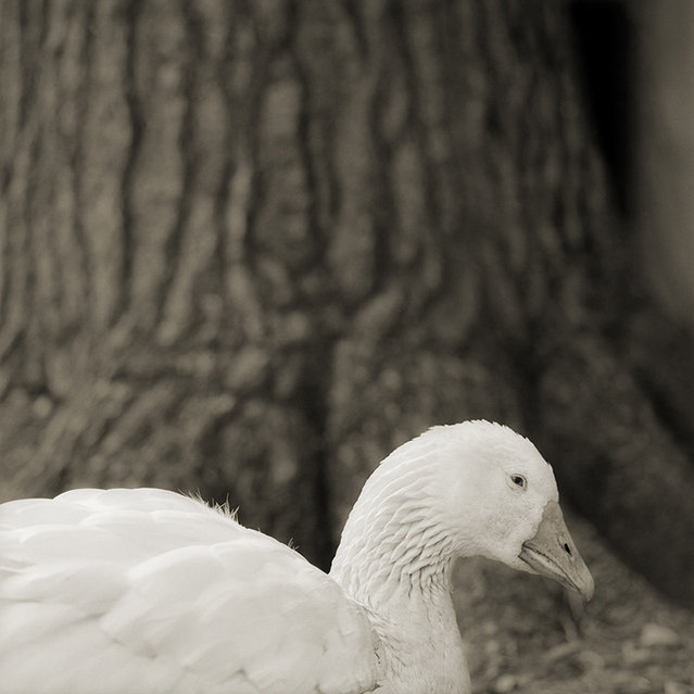 Embden Goose, Age 28