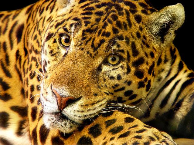 Daimler the jaguar