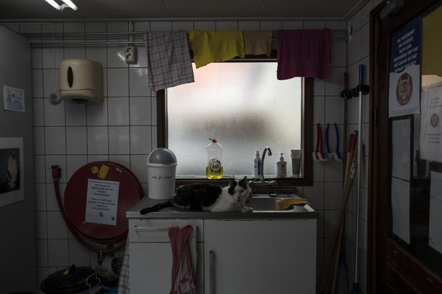 In this Wednesday, August 2, 2017 photo, Koeienkat, a 10-year-old cat sits by the sink on the Catboat shelter in Amsterdam, Netherlands. (Photo by Muhammed Muheisen/AP Photo)