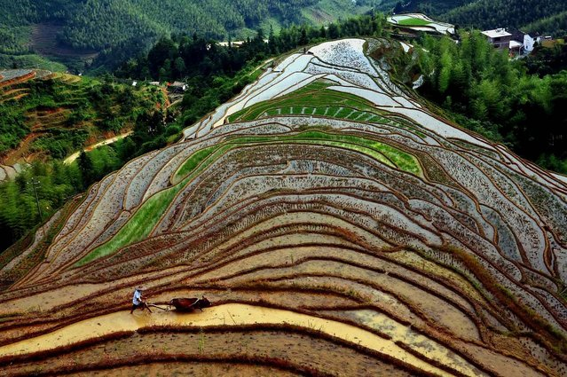 Honorable Mention, Pictorial. Photo by Wang Song, Xinhua, ZumaPressS.com:  A farmer drives his cattle to plow on the Shangbao Terrace in Shangbao Village of Chongyi County, east China's Jiangxi Province. (Photo by Wang Song)