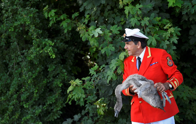 David Barber, The Queen's Swan Marker, holds a cygnet, or young swan, during Swan Upping, the annual census of the swan population on the River Thames, in a week long exercise where unmarked mute swans are now counted – rather than eaten – in a tradition exercised by the British Crown for nearly 900 years,  at Sunbury, Southern England, July 18, 2016. (Photo by Toby Melville/Reuters)