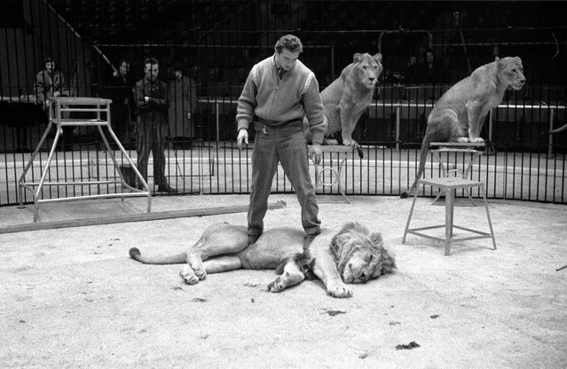 "Trainer Joe Clavall aka ""Tarzan"" subdues one of his twelve Atlas lions and lionesses whilst rehearsing for a show by Jack Hylton's circus at Earl's Court in London. 16th January 1954. (Photo by Maurice Ambler)"