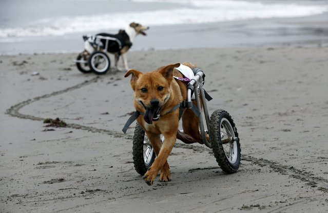Pelusa and Pecas,  paraplegic dogs in wheelchairs, walk at Pescadores beach in Chorrillos, Lima, September 7, 2015. (Photo by Mariana Bazo/Reuters)