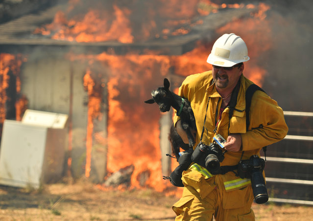 Freelance photographer Noah Berger rescues a goat while on assignment for the San Francisco Chronicle as flames envelope a property off of Bonham Road near Lower Lake, Calif. on Sunday, August 14, 2016. Flames continue to burn out of control in the area. A blaze raging through dry vegetation in Northern California has jumped a containment line, setting several houses on fire and prompting firefighters and volunteers to evacuate horses, goats and other animals as homes burn around them. (Photo by Josh Edelson/AP Photo)