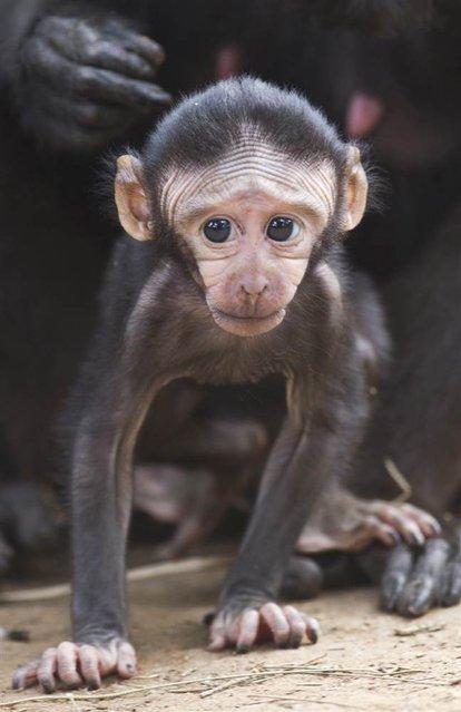 Nina, a 2-week-old Celebes ape baby, walks at the Ramat Gan Safari park near Tel Aviv, Israel, on October 31, 2012. (Photo by Oliver Weiken/EPA)