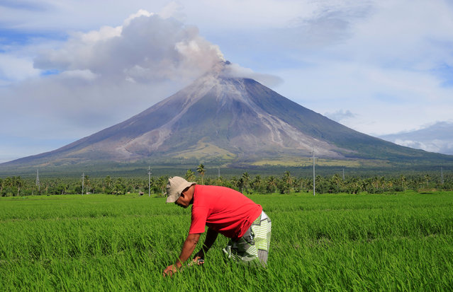 A farmer works on a rice farm while Mount Mayon volcano spews ash during a new eruption in Daraga, Albay province, Philippines January 25, 2018. (Photo by Romeo Ranoco/Reuters)