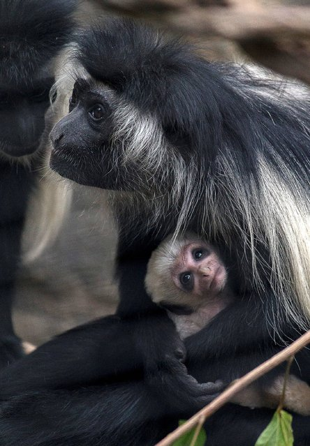 A 10-day old eastern Angolan colobus monkey is held by a member of the troop at the San Diego Zoo's Lost Forest on Tuesday, December 2, 2014. This is the 20th offspring for mother Lulu, whose name means pearl in Swahili. This new baby was born on November 21. (Photo by Ken Bohn/AP Photo/San Diego Zoo)