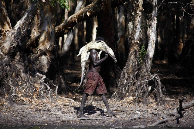 """Australian Aboriginal hunter Roy Gaykamangu of the Yolngu people carries a crocodile he has just shot dead along the edge of a billabong near the """"out station"""" of Yathalamarra, located on the outksirts of the community of Ramingining in East Arnhem Land November 22, 2014. (Photo by David Gray/Reuters)"""