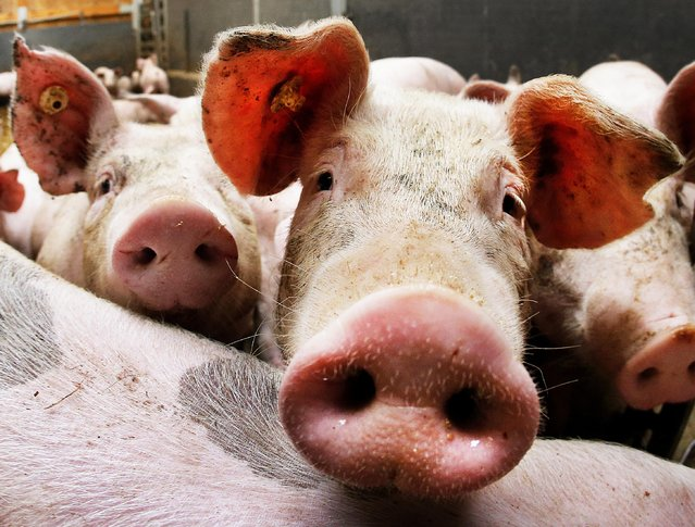 Pigs look into the camera in a stall of a pig farmer who has 800 pigs in Frankfurt, Germany, Tuesday, October 4, 2016. (Photo by Michael Probst/AP Photo)
