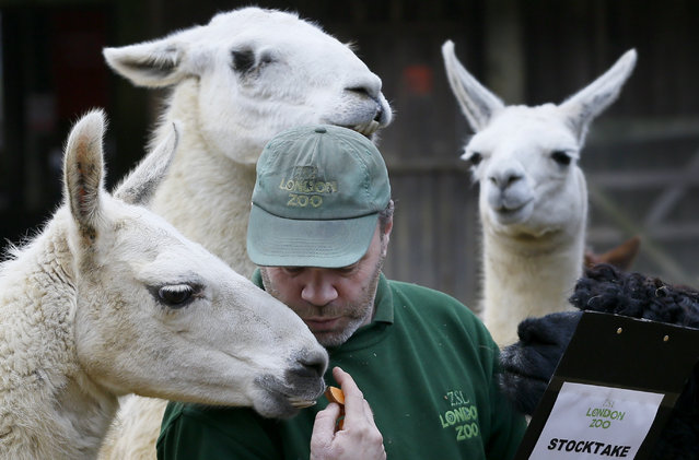 Keeper Darren Jordan feeds the llamas and alpacas during the annual stocktake at ZSL London Zoo, Monday, January 5, 2015. (Photo by Kirsty Wigglesworth/AP Photo)