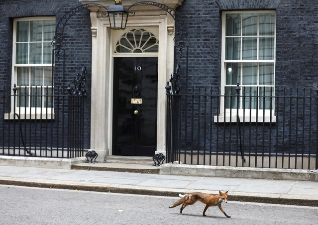 A fox walks past 10 Downing Street in London, Britain, June 12, 2018. (Photo by Simon Dawson/Reuters)