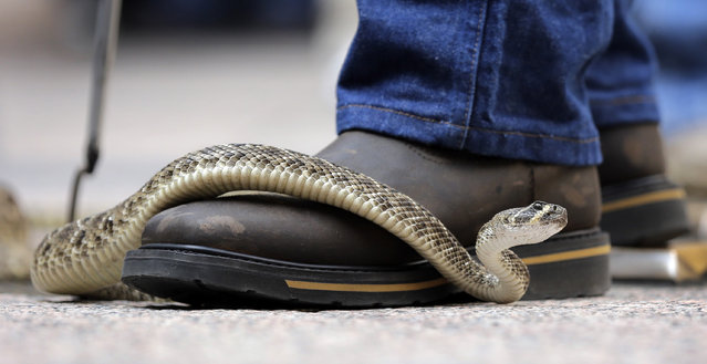 A rattlesnake moves across the top of a handler's boot at the Capitol, Monday, February 2, 2015, in Austin, Texas. (Photo by Eric Gay/AP Photo)