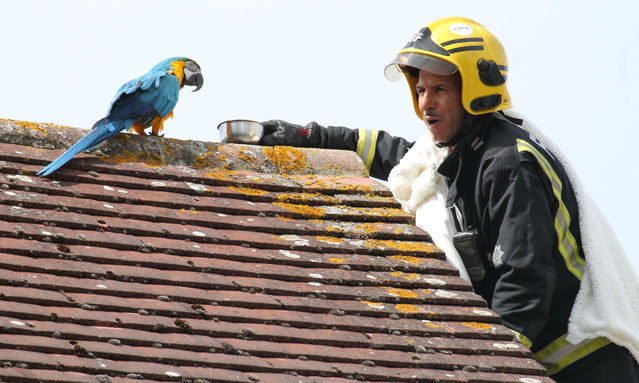 "A parrot stuck on a roof for three days greeted firefighters sent to its aid on August 13, 2018 with a four-letter tirade. Jessie, the multi-lingual Macaw, flipped the bird after escaping from her owner's home in Edmonton, north London, UK. When she could not be lured down from a neighbour's roof, firefighters were called out and told to tell the bird ""I love you"" – to which Jessie replied ""I love you back"". But she then ruffled her would-be rescuers' feathers by telling them to ""f**k off"" before flying off to another nearby rooftop. The foul-mouthed pet also speaks Turkish and Greek according to its owner, but had its own choice words in English for the rescue team. As Jessie wasn't injured, the firefighters, who had been called in by the RSPCA, left her on her perch. The parrot was later reunited with its owner. (Photo by Rex Features/Shutterstock)"