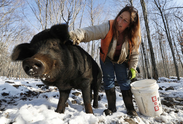 In this Thursday, December 8, 2016, photo Susan Frank pets one of her mulefoot pigs at Dogpatch Farm in Washington, Maine. The American mulefoot hog was once the rarest of all U.S. livestock breeds, and they're still listed as critically rare by the Livestock Conservancy. Frank accounts for about a dozen of the pigs. (Photo by Robert F. Bukaty/AP Photo)