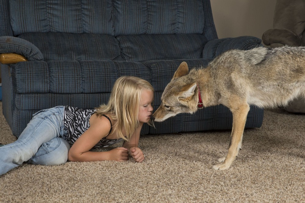 Eight-year-old Girl Keeps Coyote as Family Pet