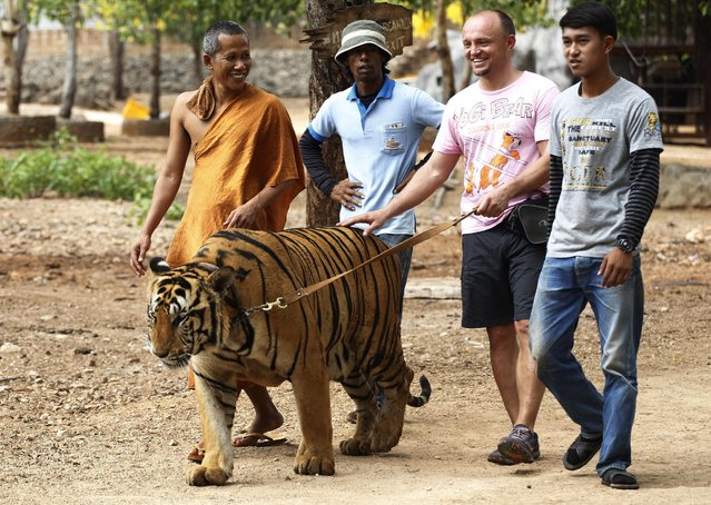 "A tourist tries out to leash a tiger led by a Buddhist monk, left, at the ""Tiger Temple"" in Saiyok district in Kanchanaburi province, west of Bangkok, Thailand, Friday, April 24, 2015. Officials from the Department of National Parks, Wildlife and Plant Conservation on Friday visited the temple to inspect the number of the tigers, in response to allegations that the animals went missing. (Photo by Sakchai Lalit/AP Photo)"