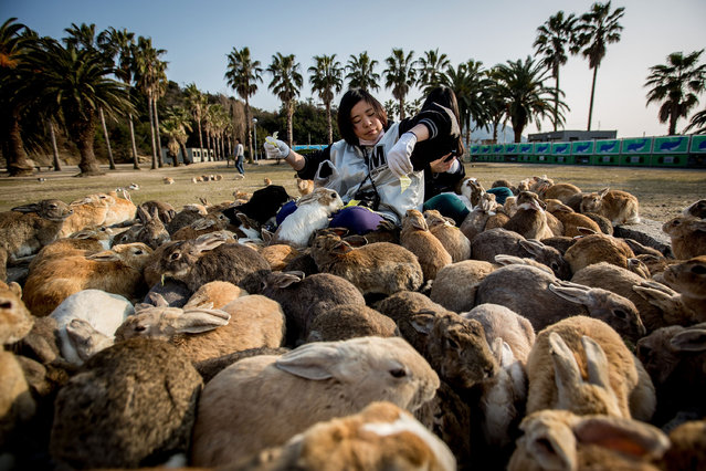 "Two tourists sit and feed hundreds of rabbits  at Okunoshima Island on February 24, 2014 in Takehara, Japan. Okunoshima is a small island located in the Inland Sea of Japan in Hiroshima Prefecture. The Island often called Usagi Jima or ""Rabbit Island"" is famous for it's rabbit population that has taken over the island and become a tourist attraction with many people coming to the feed the animals and enjoy the islands tourist facilities which include a resort, six hole golf course and camping grounds. (Photo by Chris McGrath/Getty Images)"