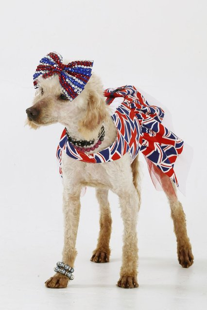 Purdy the Poodle, one of Emmie's rescue dogs, wearing a union jack dress with matching bow and a pearl bracelet. (Photo by Helen Yates/Barcroft Media)