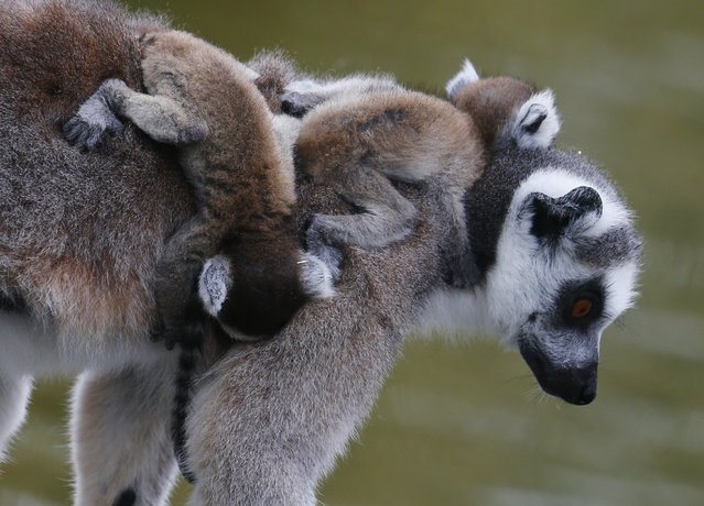 A Lemur catta, also known as ring-tailed lemur, with eleven-day-old cubs clinging to its back, walks along a tree at the Schoenbrunn zoo in Vienna, Austria, April 1, 2016. (Photo by Heinz-Peter Bader/Reuters)
