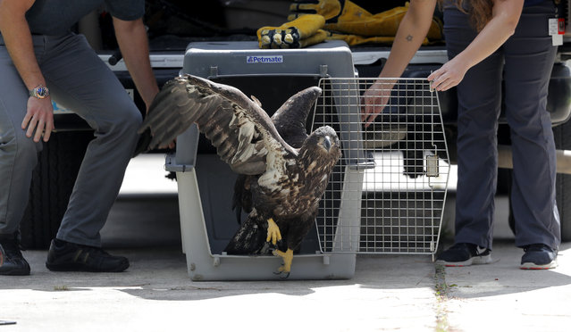 A formerly injured eaglet is released in a suburban New Orleans driveway, near its original nest, in Metairie, La., Tuesday, May 28, 2019. A bald eagle hatched this spring in a New Orleans suburb was released Tuesday in the same neighborhood after two weeks in Louisiana State University's Wildlife Hospital. Dozens of neighbors who have watched over the eagle family cheered as the mottled brown bird hopped out of the cage in which it had traveled from Baton Rouge and launched itself into the air. It sat for several minutes on the roof of a house in the shadow of its nest while a pair of mockingbirds dive-bombed it. Then it flew off. The eaglet had been taken to the LSU veterinary school Wildlife Hospital on May 11. It had been found walking in a nearby street, and barely able to fly. (Photo by Gerald Herbert/AP Photo)