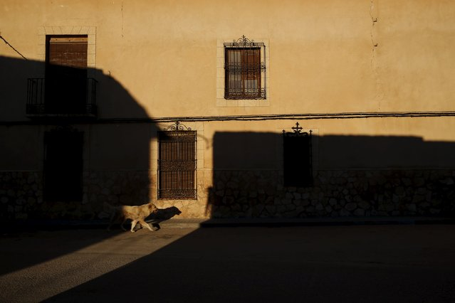 A lone dog wanders empty streets in the hometown of Don Quixote's ladyship Dulcinea, in El Toboso, Spain, April 7, 2016. (Photo by Susana Vera/Reuters)