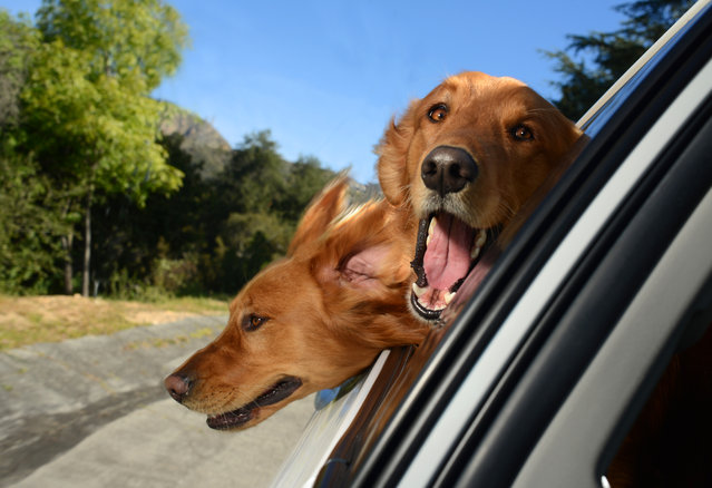 "Two blonde Labrador view of a two dogs peering out of a window in Los Angeles, California. A wacky photographer has come up with an unusual pet project – snapping ecstatic dogs as they hang their heads out of car windows. Lara Jo Regan, 48, embarked on the odd task for her new 2014 calendar ""Dogs In Cars"". The unusual shoot, which took place in Los Angeles, California, aimed to explore the joy experienced by pugs and huskies when a breeze hits their faces. (Photo by Lara Jo Regan/Barcroft Media)"