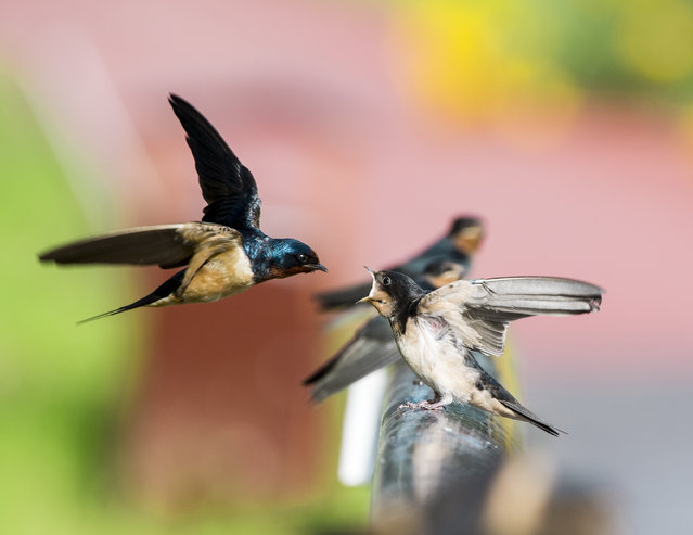 A swallow feeds young birds in Harbin, China. (Photo by Costfoto/Barcroft Media)