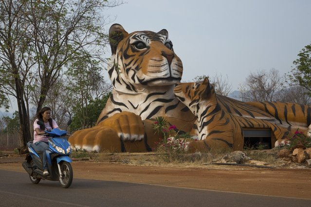 A building in the shape of a tiger mother and cub at the entrance to Tiger Temple, a Theravada Buddhist temple and monastery where paying visitors can pet and stroll with tigers, in Kanchanaburi, Thailand, March 16, 2016. (Photo by Amanda Mustard/The New York Times)