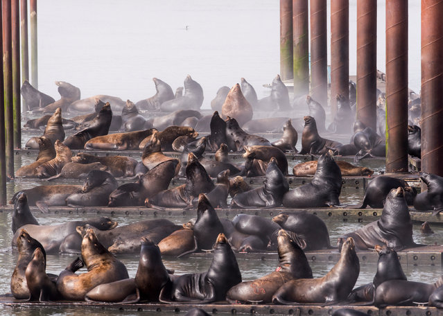California Sea Lions by Robert Potts, USA: docks in Astoria taken over by California Sea Lions. Third place – cities and nature. (Photo by Robert Potts/The Nature Conservancy Global Photo Contest 2019)