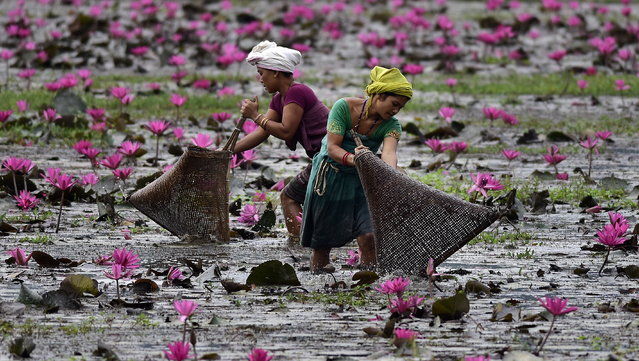 Women catch fish with nets surrounded by blooming lotus flowers at Budha Mayong village in Morigaon district, Assam, India, 06 November 2019. (Photo by EPA/EFE/Stringer)