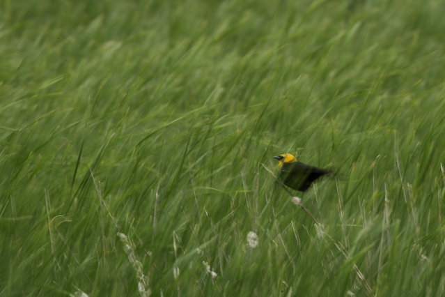 A yellow-headed blackbird perches a stalk of grass in a wetland near Sterling, N.D., on Friday, June 21, 2019. (Photo by Charlie Riedel/AP Photo)