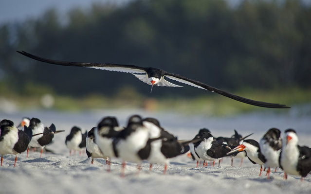 """""""Skimmer Skimming"""". A Black Skimmer flies to the front of the flock on Lido Key in Sarasota, Florida. As my wife and I were walking north along the shore, we observed a flock of Black Skimmers flying south. The flock would land and every few minutes take off in a circular pattern just over the water. Photo location: Lido Key, Sarasota, Florida. (Photo and caption by Paul Vuocolo/National Geographic Photo Contest)"""