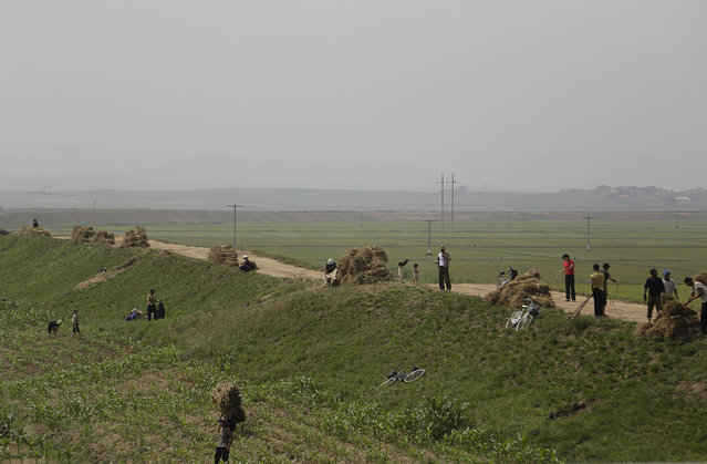 In this June 24, 2015, photo, farmers work on corn fields in South Hwanghae, North Korea. There has been almost no rain in this part of the country, according to farmers and local officials interviewed by The Associated Press. While the situation in the area that the AP visited looks grim, it is unclear how severe the drought is in the rest of the country. (Photo by Wong Maye-E/AP Photo)