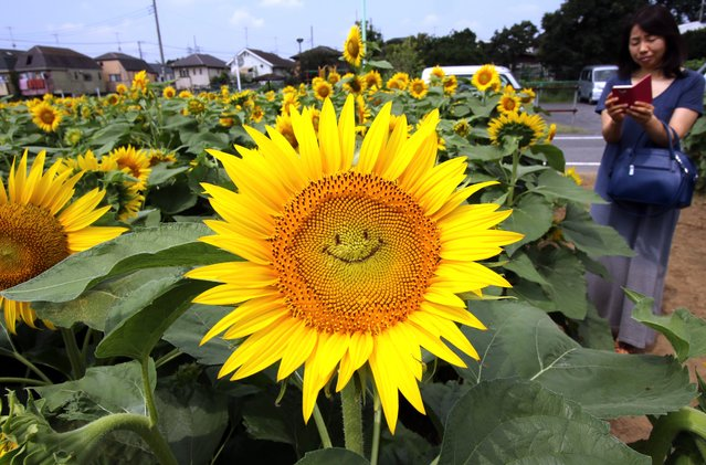 "A general view shows a ""smiling"" sunflower in a field in Tokyo on July 30, 2015. Some 20,000 sunflowers were enjoyed by visitors to the area. (Photo by Yoshikazu Tsuno/AFP Photo)"