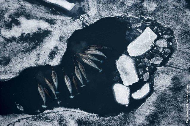 Narwhals. Lancaster-Saund, Nunavut, Canada