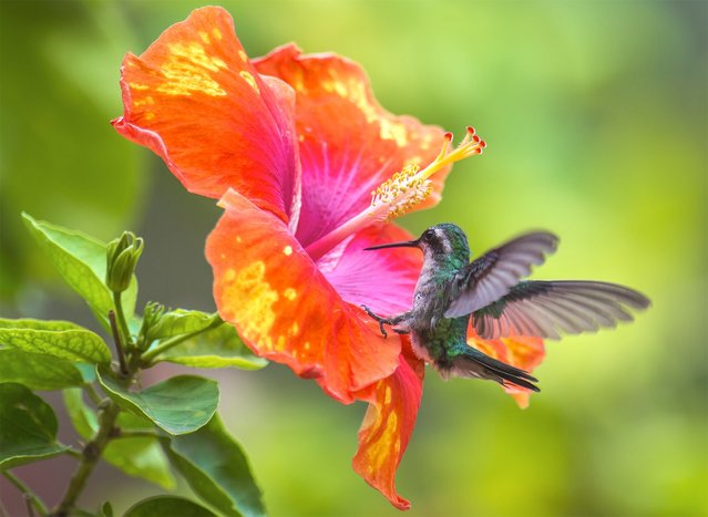 """Landing on Hibiscus flower"". Blue-Taled Hummingbird lands on the Hibiscus flower. Photo location:  Aruba island. (Photo and caption by Damilice Mansur/National Geographic Photo Contest)"