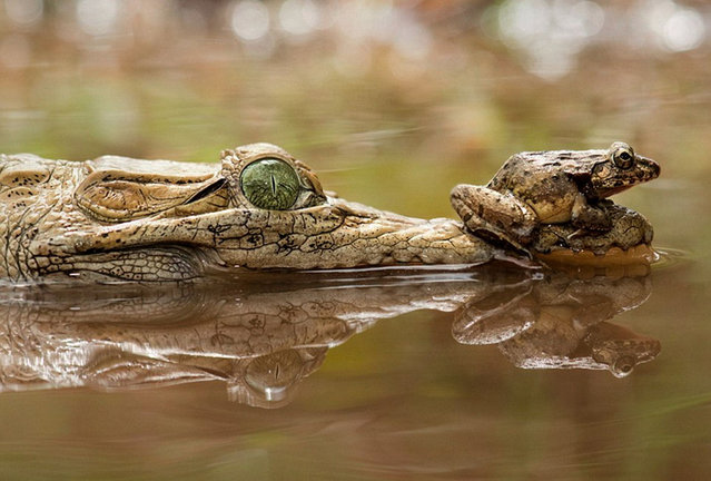 Frog Perched On The Crocodile
