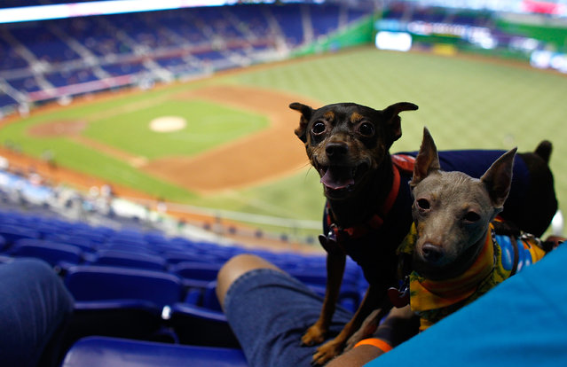 Two dogs attend a game between the Miami Marlins and the San Diego Padres for Bark at the Park at Marlins Park on July 29, 2012 in Miami, Florida. (Photo by Sarah Glenn/Getty Images)