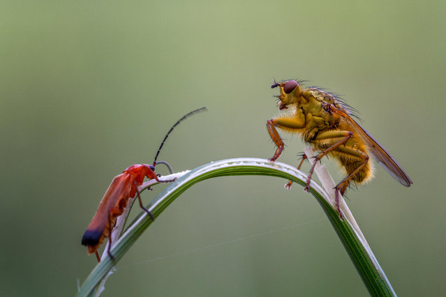 A hogweed bonking beetle and yellow dung fly in a stalk standoff (the fly gave in), in Burley-in-Wharfedale, Yorkshire, England. (Photo by Rebecca Cole/Alamy Stock Photo)