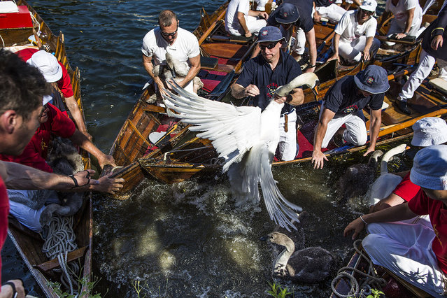 Swans and cygnets are rounded up to be weighed and tagged during the annual Swan Upping census on July 18, 2016 on the River Thames, South West London. The historic Swan Upping ceremony dates back to the 12th century, to when the Crown claimed ownership of all Mute Swans and they were eaten at banquets and feasts. The Sovereign's Swan Marker, David Barber, counts the number of young cygnets on the river each year and ensures that the swan population is maintained. The swans and young cygnets are also assessed for any signs of injury or disease. (Photo by Dan Kitwood/Getty Images)