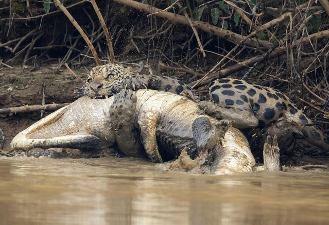 A jaguar ambushes a giant jacare caiman high up on the Three Brothers River in the Pantanal in Mato Grosso, Brazil. (Photo by Chris Brunskill Ltd/Getty Images)