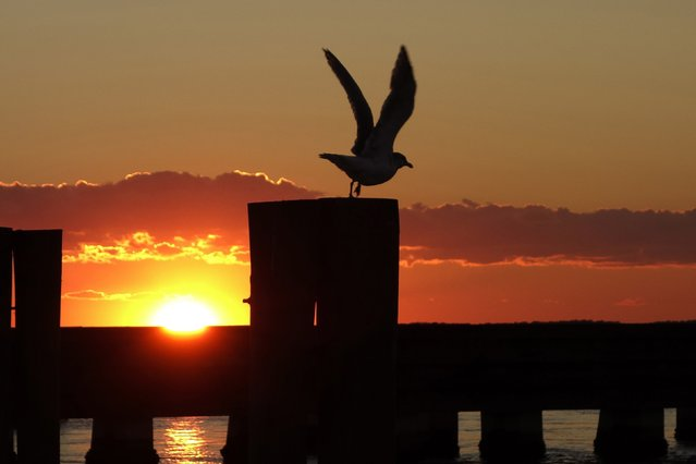 A seagull is pictured at sunset over Chincoteague, Virginia, October 25, 2013. (Photo by Kevin Lamarque/Reuters)
