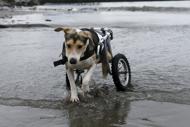 Pecas, a paraplegic dog in a wheelchair, walks at Pescadores beach in Chorrillos, Lima, September 7, 2015. (Photo by Mariana Bazo/Reuters)