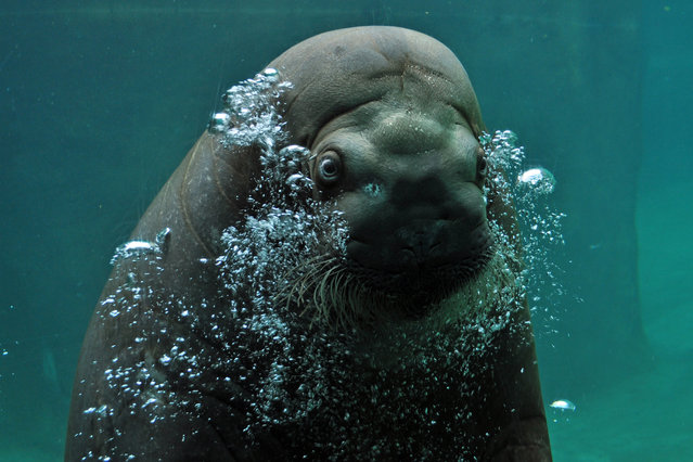 """Hello"". Capturing this gentle giant's inquisitive nature was rather easy as he swam right up to us and just stared for several long seconds. I love all the bubbles and his cute little face. Photo location: Point Defiance Zoo, Tacoma, WA, United States. (Photo and caption by Misty Gage/National Geographic Photo Contest)"