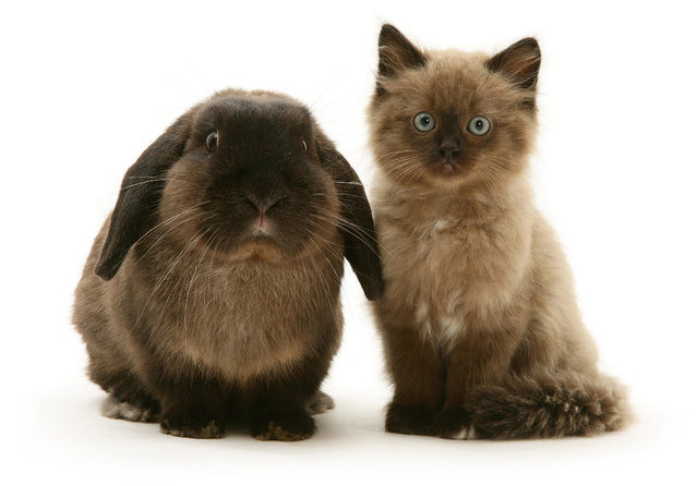 Chocolate Birman-cross kitten with chocolate Lop rabbit. (Photo by Mark Taylor/Warren Photographic/Caters News Agency)