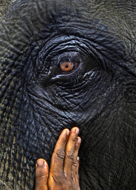 A handler applies mustard oil around an elephant's eye before safari rides for tourists at the Pobitora National Park, east of Gauhati, India, November 2, 2012. (Photo by Anupam Nath/Associated Press)