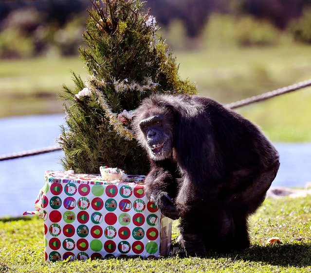 A chimp collects a wrapped gift during Lion Country Safari's annual Christmas with the Chimps on Thursday, December 20, 2012. For over 20 years, Santa Claus has visited man's closest relative at Lion Country Safari's Chimp Islands, bearing wrapped gifts for the chimps. (Bruce R. Bennett/The Palm Beach Post)