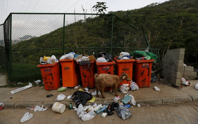 A goat is seen next to garbage at Turano slum in Rio de Janeiro, Brazil, October 1, 2015. (Photo by Sergio Moraes/Reuters)