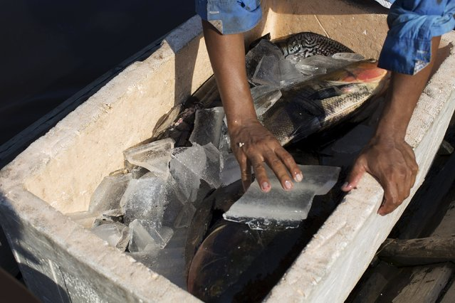 Eliakin Pereira Vale, 31 cools off fish with ice produced on solar-powered ice machines at Vila Nova do Amana community in the Sustainable Development Reserve, in Amazonas state,  Brazil, September 24, 2015. (Photo by Bruno Kelly/Reuters)