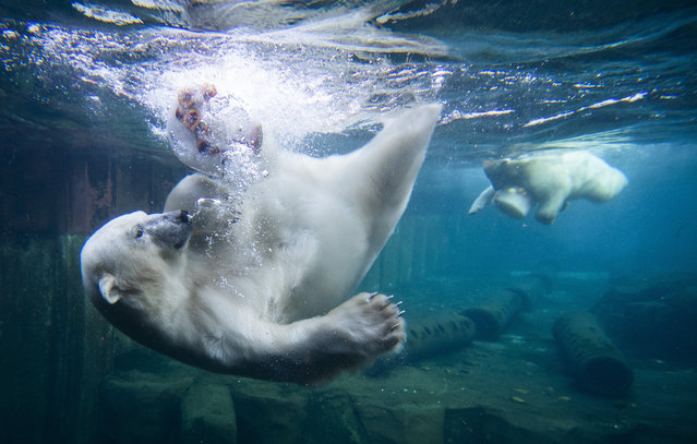 Two polar bears dive for ice cream cakes in the water basin at the Zoo in Hanover, Germany, Wednesday, September 16, 2020. (Photo by Julian Stratenschulte/dpa via AP Photo)